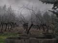 Vineyard 014